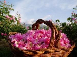 Праздник розы в Болгарии фестиваль розы