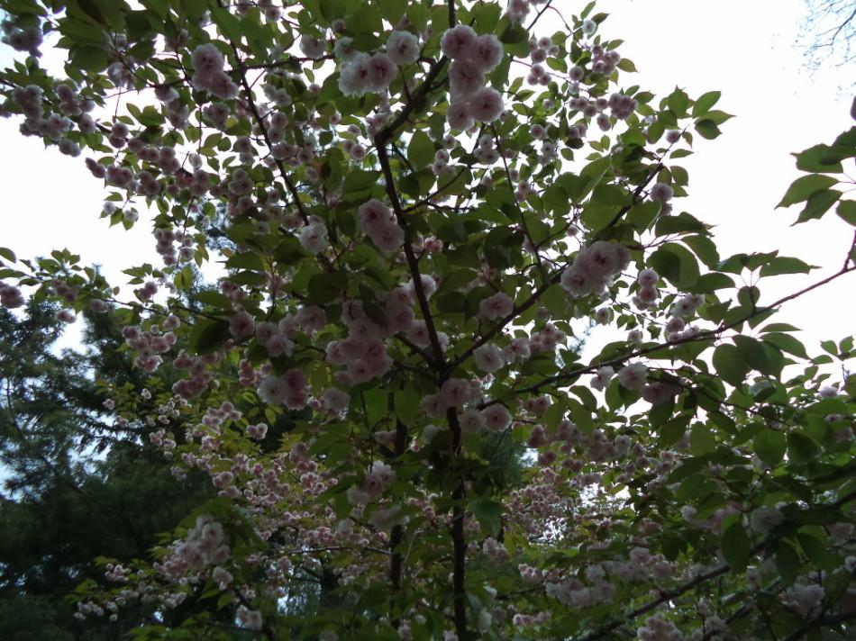 Цветение сакуры 2014 фото