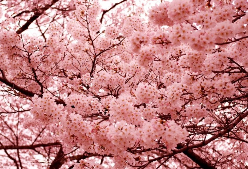 цветение сакуры картинка