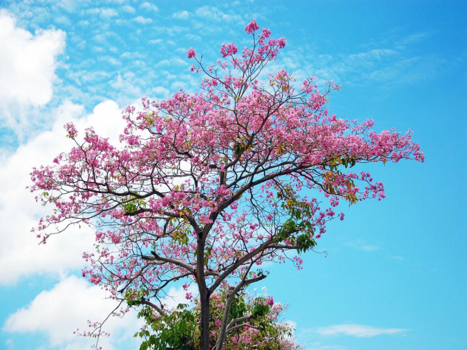 цветние сакуры фото сакура цветущее дерево
