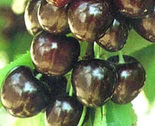 Сорта черешни - черешня ранняя черная