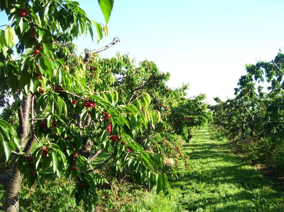 Сад черешни и кусты