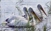 Второй случай заболевания птиц птичьим гриппом зафиксирован в Болгарии