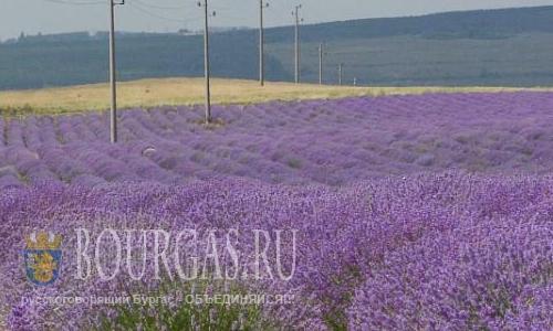 Болгария стала мировым лидером по производству лавандового масла