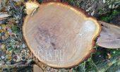 Браконьеры уничтожили целую дубовую рощу