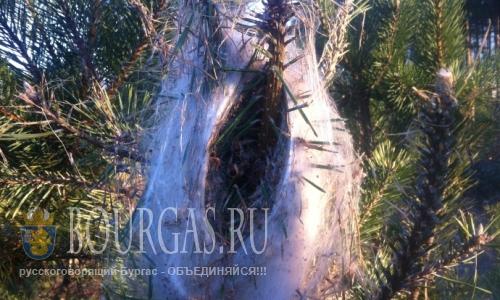 Леса в Казанлыке уничтожают вредители