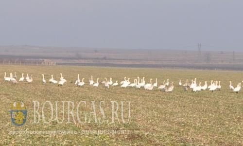 Лебеди-шипуны зимуют в Бургаской области