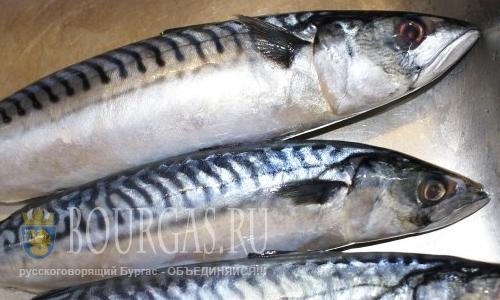 черноморская скумбрия, рыбаки Болгарии
