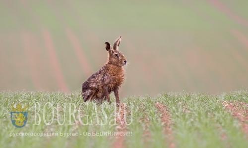 Диких зайцев в Болгарии косит заячий грипп