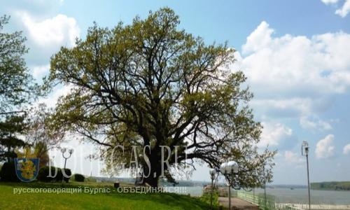 Дуб в Болгарии претендует на Европейское дерево года 2016, в Болгарии растет