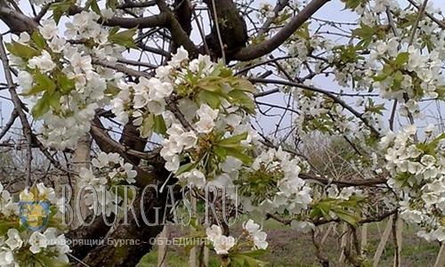 Ранние абрикосы в Пловдиве померзли