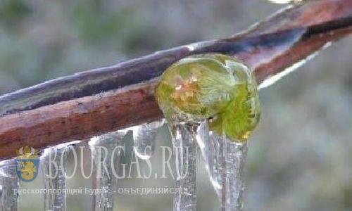 Урожай персиков и абрикос в Болгарии под угрозой