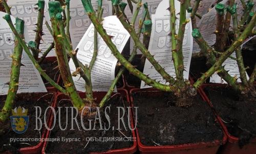 В Видине украли 6000 розовых кустов