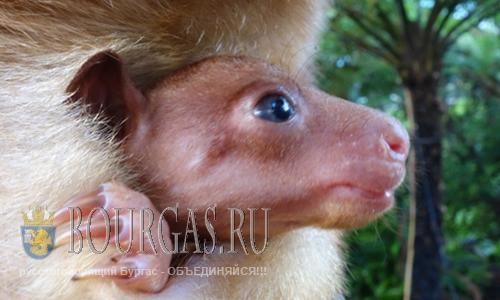 В зоопарке Софии Болгария родился кенгуру
