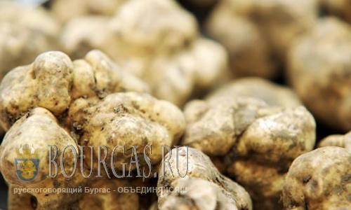 белые трюфели в Болгарии, трюфели в Болгарии