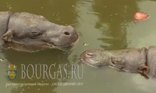 Два карликовых бегемота прибыли в зоопарк Софии