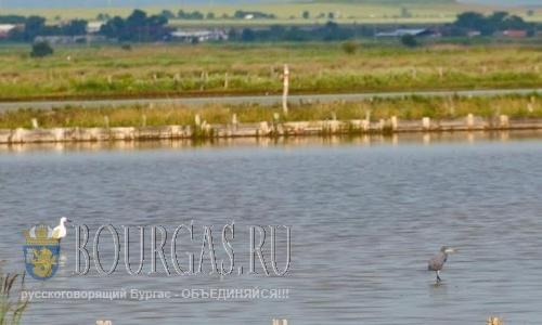 Рифовая цапля Egretta gularis на Атанасовском озере в Бургасе