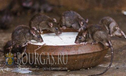 Сильные дожди потревожили грызунов в Софии