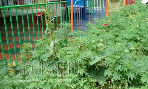Возле детской площадки в Варне высадили коноплю