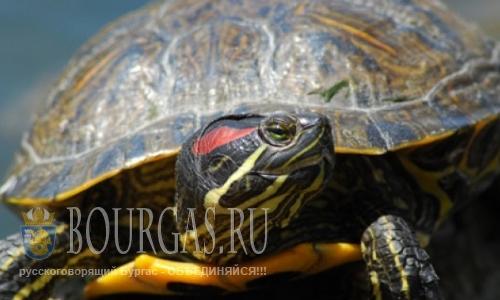 В Атанасовском озере замечены домашние черепахи