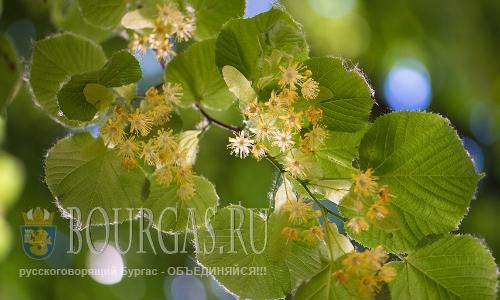 В Плевне Болгария сборщики липового цвета спили 1000 лип