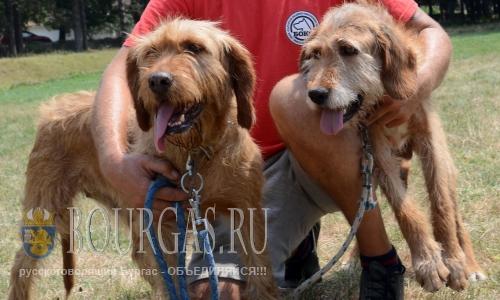 31 июля 2016 года, Болгария, село Лудогорци, Разградская область - Болгарская гончая на выставке собак