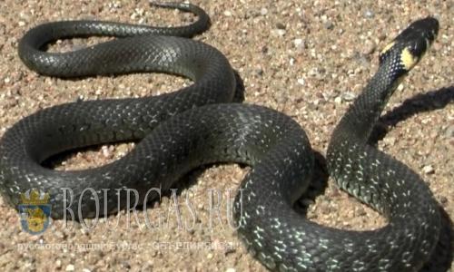 Гигантская змея пугает жителей болгарского селения Струма