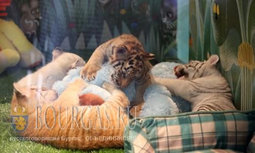 В Болгарии на три тигра стало больше
