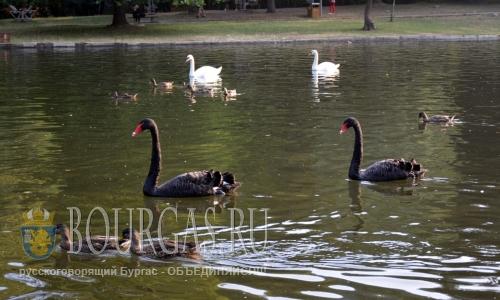 1 августа 2016 года, Болгария, Благоевград, озеро-парка Бачиново, белые и черные лебеди