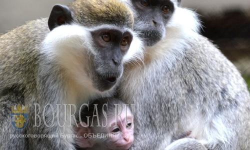 25 августа 2016 года, Варна, Зоопарк, в семействе зеленых мартышек еще 15-го августа появился малыш