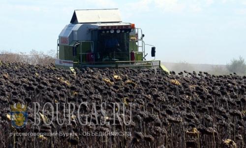 29 августа 2016 года, Разградская область, идет уборка подсолнечника на масло