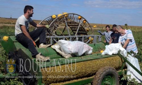 29 августа 2016 года, Разградская область, село Капиновци - идет уборка тыквы на семена