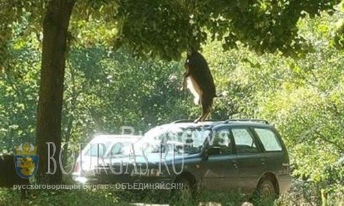 В Болгарии Козы атакуют неверно припаркованные авто