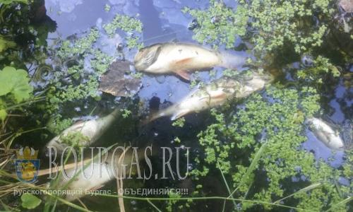 В болгарской реке Янтра произошел массовый мор рыбы