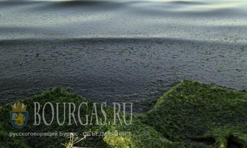 8 августа 2016 года, Болгария, Бургас, водоросли атакуют пляжи