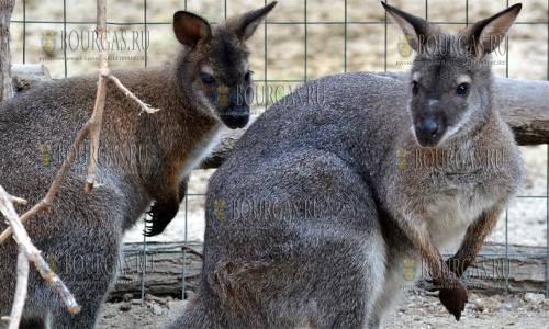 14 сентября 2016, Варна, зоопарк - кенгуру Кени и Пени обживают вольер и привыкают к новому месту жизни