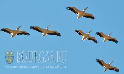 17 августа 2016 года, Болгария, Бургас, Озеро Вая - пеликаны стали на крыло
