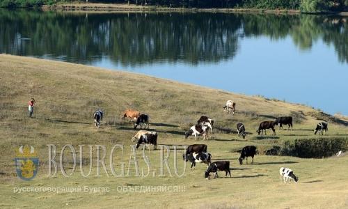 17 августа 2016 года, Болгария, Разградская область, Ножарово, Коровы на выпасе
