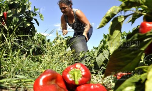 21 сентября 2016, Хасковская область, уборка урожая красного болгарского перца
