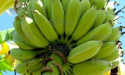 Чудо - в Болгарии растут и плодоносят бананы