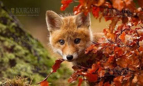 лисы в Болгарии