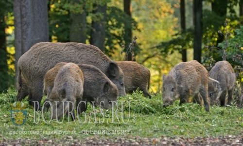 популяция дикого кабана в Болгарии