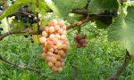 Белые сорта винограда в Болгарии очень востребованы в ЕС