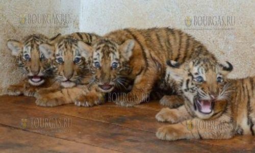 в зоопарке Пазарджика появились на свет 4 амурских тигра