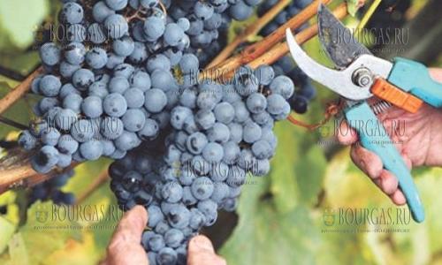 виноград в Болгарии