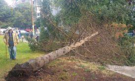 11 октября 2016 года, Бургас, ЖК Братя Миладинови - сильный ветер повалил ель, обошлось без пострадавших и жертв
