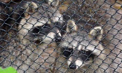 12 октября 2016 года, Варна, новые обитатели зоопарка - пара енотов
