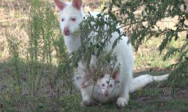 кенгуру альбинос появился в Zoo Burgas в окрестностях Бургаса
