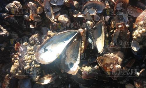 Популяция моллюсков в Болгарии сокращается