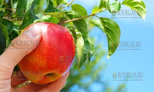 В этом году яблоки в Болгарии в дефиците